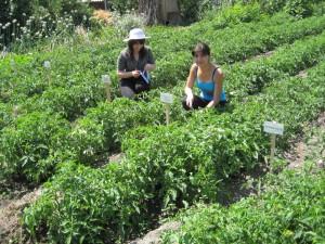 8.Khachpar-tomato